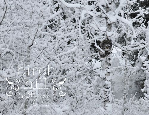 Owl in tree watermark