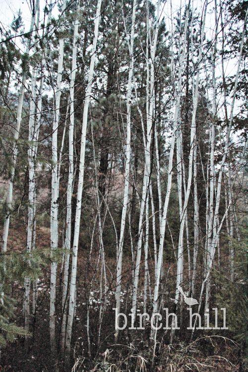 Birch trees watermark